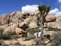 Joshua tree national park California - USA stock image
