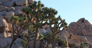 Joshua Tree National Park, California. Joshua Tree National Park light zoom in view, California stock footage