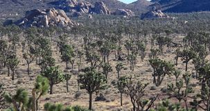 Joshua Tree National Park, California. Joshua Tree National Park panning view, California stock footage