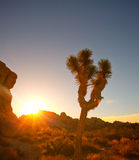 Joshua tree National Park in California USA Royalty Free Stock Photo