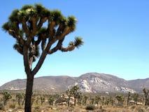 Joshua Tree National Park, California, USA. View of Joshua Tree, named also Yucca Brevifolia, at  Joshua Tree National Park, California, United States of America Stock Image