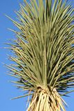 Joshua Tree in Joshua Tree National Park. Joshua tree close-up needle-shaped leaves stock image