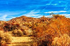 Yellow Brush in the desert. Joshua Tree National Park deep in the colorful desert in winter Royalty Free Stock Photography
