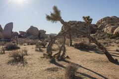 Joshua Tree National Park dropp Arkivfoton