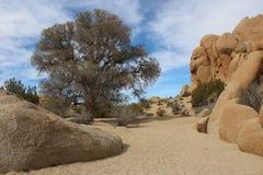 Joshua Tree National Park Dry Creek with Live Oak Royalty Free Stock Image