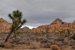Joshua tree national park. Gloomy day at Joshua tree national park right before a sunset Stock Images