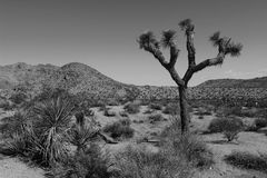 Joshua Tree National Park, Mojave Desert, California. Amazing nature of the Joshua Tree National Park which is part of dry Mojave Desert in California. Lots of Stock Photo