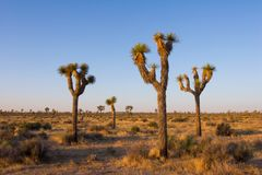 Joshua Tree National Park in the Morning. Morning in Joshua Tree National Park, in the Mojave Desert of Southern California royalty free stock photo