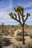 Joshua Tree in National Park Royalty Free Stock Photography