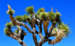 Joshua Tree National Park. Sitting somewhere in the middle of the Joshua Tree national park is this majestic Joshua Tree surrounded by the arid Mojave desert and Stock Photo