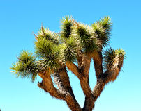Joshua Tree National Park. Sitting somewhere in the middle of the Joshua Tree national park is this majestic Joshua Tree surrounded by the arid Mojave desert and Stock Photography
