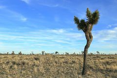 Joshua tree national park. Sunny afternoon at Joshua tree national park Stock Photo