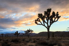 Joshua tree national park. Sunset hours at Joshua tree national park Stock Photo