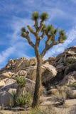 Joshua Tree in National Park Stock Photos