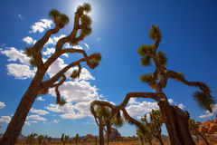 Joshua Tree National Park Yucca-de woestijn Californië van Valleimohave Stock Afbeeldingen