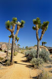 Joshua tree nationalpark Royalty Free Stock Photo