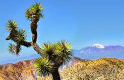 Joshua Tree Nationl Park Springtime Stock Photography