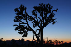 Joshua Tree no por do sol Imagem de Stock Royalty Free