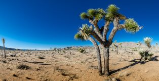 Joshua Tree in in Open Desert Panorama royalty free stock images