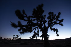 Joshua tree outline in the evening sky. Outline of a jushua tree in the desert of california after sunset Royalty Free Stock Photography