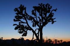 Joshua Tree på solnedgången Royaltyfri Bild