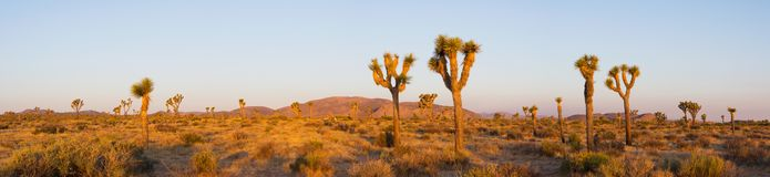 Joshua Tree Panorama. Joshua Trees in the morning - taken in the Mojave Desert of Joshua Tree National Park Royalty Free Stock Image