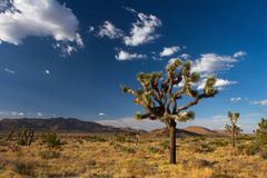 joshua tree parku narodowego fotografia royalty free