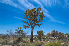 joshua tree parku narodowego Zdjęcia Royalty Free