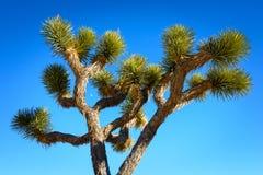 joshua tree parku narodowego Zdjęcie Royalty Free