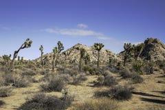 joshua tree parku narodowego Obraz Royalty Free