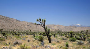 joshua tree parku narodowego Fotografia Stock