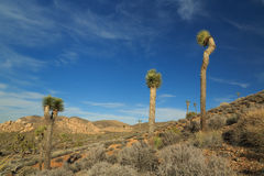The Joshua Tree Stock Images