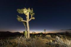 Joshua Tree Royalty Free Stock Images