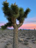 Joshua Tree Plant, Death Valley National Park stock images