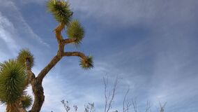 Joshua Tree Plant over blue sky and soft clouds background. 4K low angle shot of Joshua Tree with desert plants waving in the wind over blue sky clouds stock footage