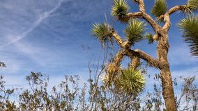 Joshua tree plant over blue sky and soft clouds background. 4K low angle shot of Joshua Tree with desert plants waving in the wind over blue sky clouds stock video
