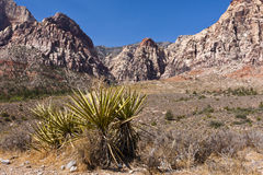 Joshua Tree at Red Rock Canyon Royalty Free Stock Images