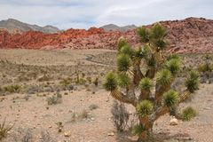 Joshua Tree at Red Rock Canyon Royalty Free Stock Photos