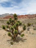 Joshua Tree at Red Rock Canyon Stock Image