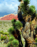 Joshua Tree Red Rock Canyon Nevada Royalty Free Stock Photos