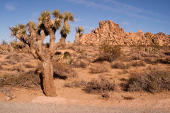 Joshua Tree With Rock Formation Landscape California National Park Royalty Free Stock Photography
