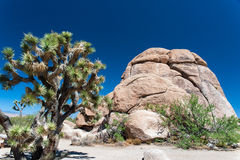 Joshua Tree beside a Rock Stock Image
