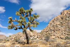 Joshua tree with rockpile in the background Royalty Free Stock Images