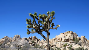 Joshua tree and rocks against blue sky Royalty Free Stock Photos