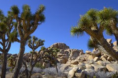 Joshua Tree and Rocks Royalty Free Stock Photos