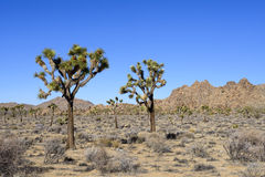 Joshua Tree and Rocks Stock Photography