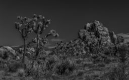 Joshua tree and a rocky outcrop of rocks royalty free stock images