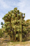 Joshua tree and saguara cactus Stock Image