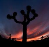 Joshua Tree Silhouette Stock Photo