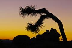 Joshua tree, silhouette Royalty Free Stock Image